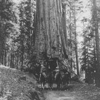 Wawona Tunnel Tree with horses and riders