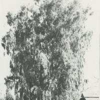 BOX 1-AG-CROPS-006 photo of very big tree.tif