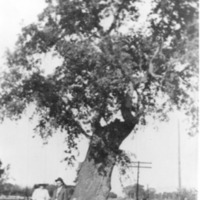 Old Giant Oak, Farmersville, Calif., 1917
