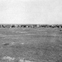 Cows at Roundup.