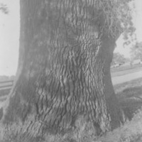 Giant Oak, Farmersville, Calif., 1903